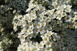 White Flowering