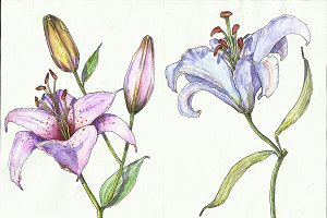 Lillies in watercolor