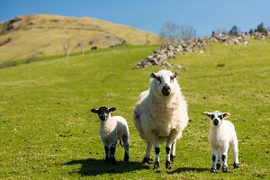 Mother sheep and two lambs stare