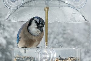 Blue Jay in bird feeder on window