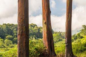 Three Rainbow Eucalyptus trees