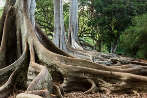 Moreton Bay Fig Tree roots