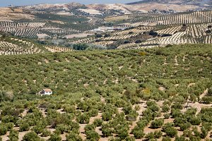 Olive trees across landscape Spain