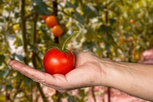 Bright red tomato in garden