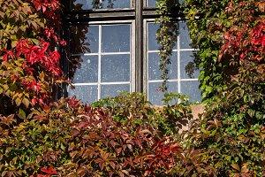 Ivy climbing on wall around window