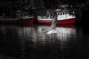 Lofoten seagull