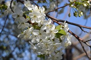 blooming branch of cherry tree