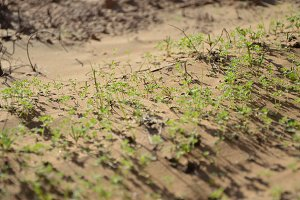 green sprouts on desert sands