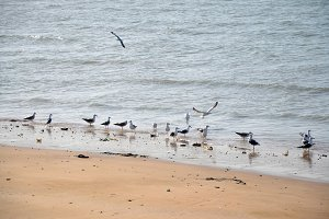 seagulls of Persian gulf