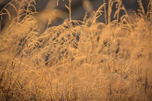 Dry grass in morning