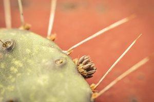 Ground cactus