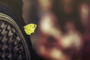 Yellow Butterfly Resting