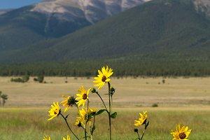 Yellow flowers frame Mt Princeton