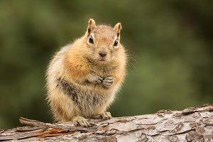 Cute chipmunk facing camera