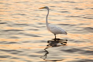 Great white egret in dawn sea
