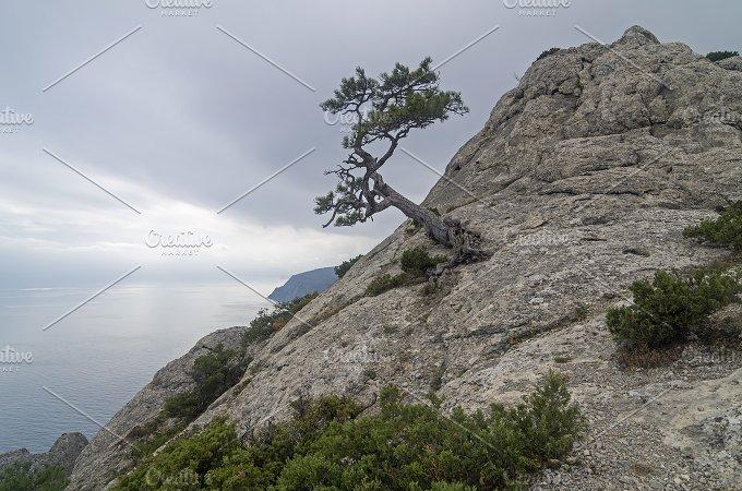 Relict pine on mountain peak. Crimea - Nature