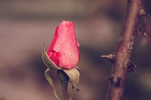 Pink or red rose flower