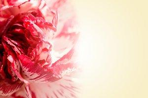 Sweet color petal exotic rose