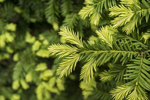 Young shoots of pine tree macro