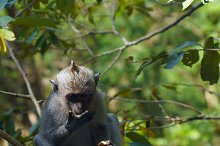 Monkey with fuit on the tree in Bali.jpg