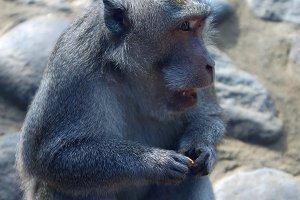 Monkey with cookies in Bali.jpg