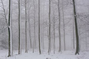 Snow covered Trees in small Forest