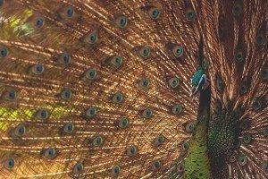 Peacock 01