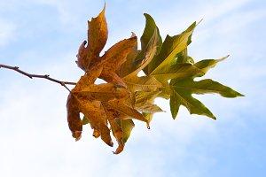 Autumn leaves blue sky