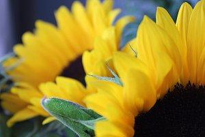 Sunshine Petals #2