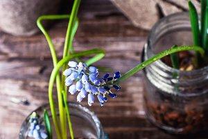 Blooming Muscari coeruleum