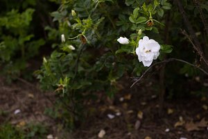 Lone white rose