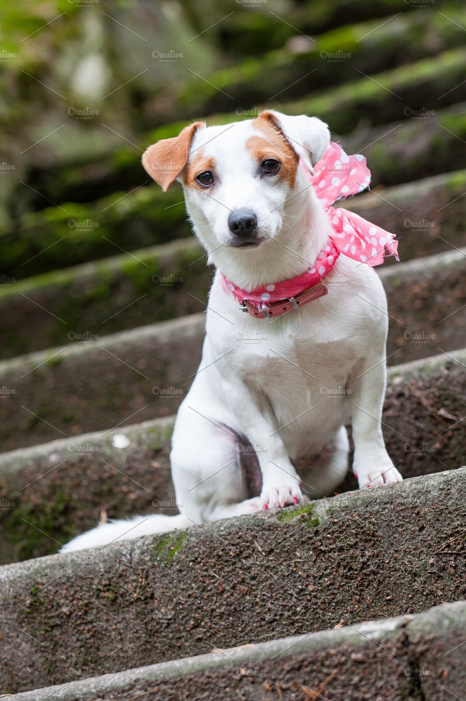 Jack russell terrier dog with pink ...