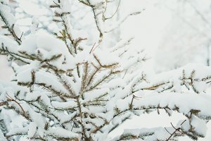 Snowy Young Evergreen Tree
