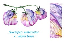 Sweetpea Watercolor Sketch