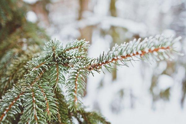 Frost Evergreen Tree