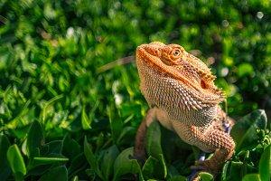Australian Dragon