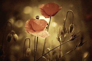 Vintage poppy flowers.