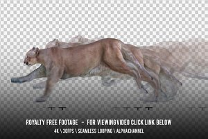 Cougar Running