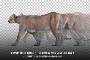 Cougar Walking