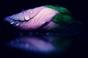 Close pink bud and rain drops