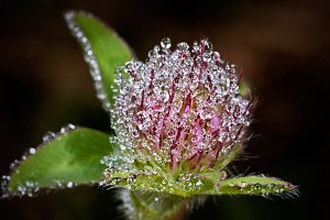 Clover in morning dew