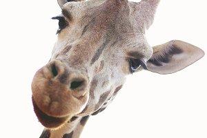 Giraffe Extreme