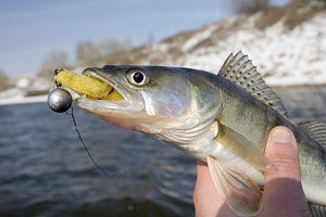 Pike-perch with lure