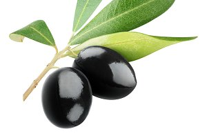 Isolated black olives on a branch