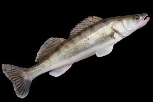 Walleye isolated with clipping path