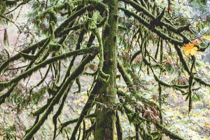 Tall mossy tree (portrait)