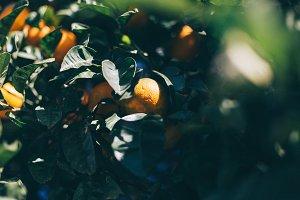 Greek tangerine tree