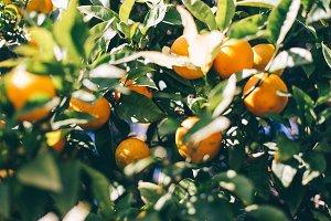 Greek tangerine tree #2