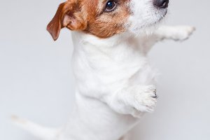 Jack russell terrier on white