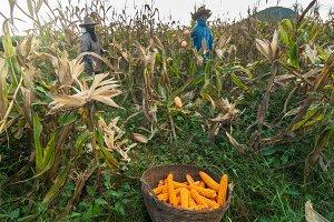 harvesting the corn
